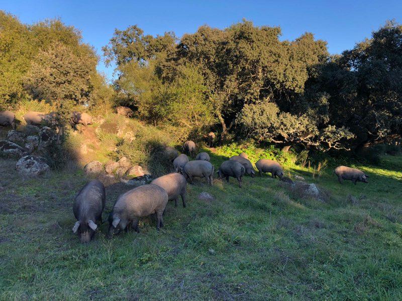 cerdos ibéricos en montanera